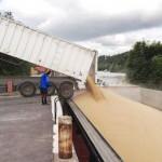 Transport fluvial de céréales : chargement d'une péniche par déversement de camion